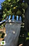 Fruitplukker / appelplukker met stevige uitschuifbare steel tot 3 meter