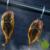 Haken voor het roken van vis